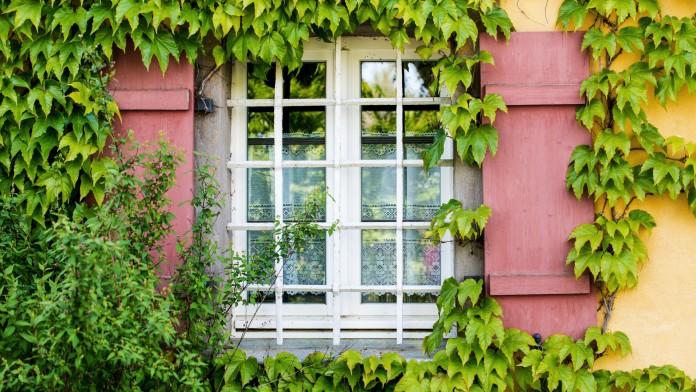 Blick von außen auf ein mit Weinranken umwachsendes Fenster mit Klappläden