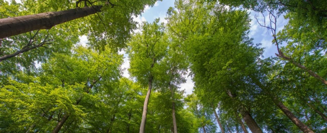 Blick in die Baumkronen eines Waldes