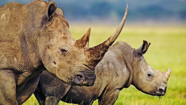 Kohlenstoff aus Nashorn